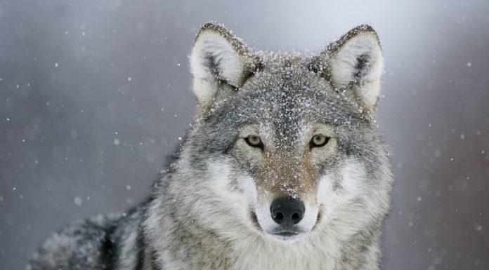 Волонтёры выходили истощённого волка из Павшинской поймы