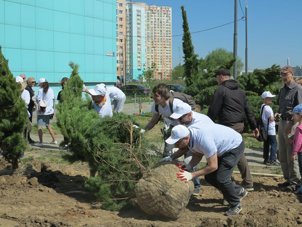 Сосновая аллея выросла вдоль берега Москвы-реки в Павшинской пойме