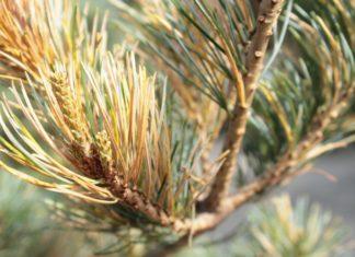Хвоя высохла более чем у 70 деревьев, высаженных в Павшинской пойме